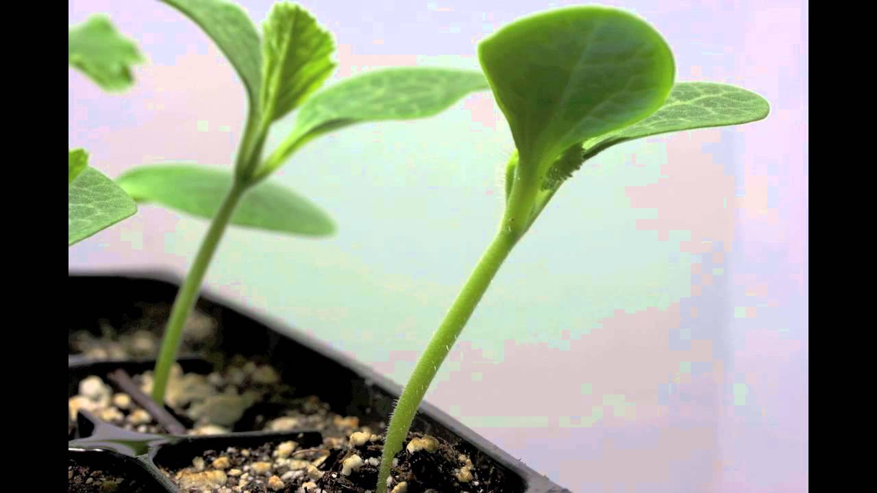 Time Lapse Of Squash Seed Sprouting