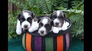 Toy & Miniature Parti Schnauzers At 5 Weeks Of Age