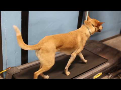 Tips for How to Train Your Dog to Run on a Treadmill
