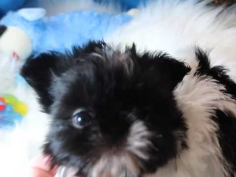 CHINESE IMPERIAL SHIH TZU PUPPIES WWW.SHIHTZUSFOREVER.COM
