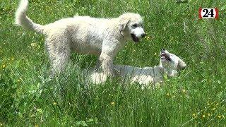«Les chiens patous se prennent pour des moutons»
