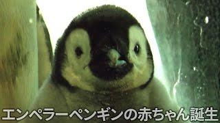 エンペラーペンギンの赤ちゃん(生後2カ月)の体重測定と...