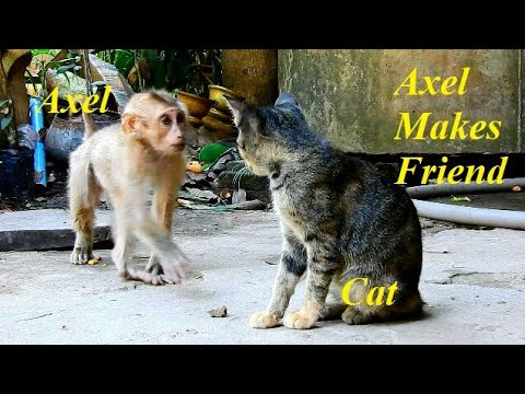 Bravo Baby Axel Abandoned monkey Axel tries to make friend with cat after washing bath