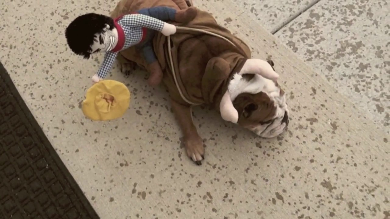 Cowboy Riding English Bulldog Youtube