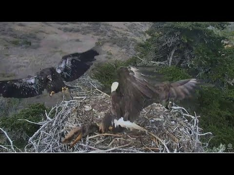 Sauces Channel Island Eagles ~ A-40 Brings...