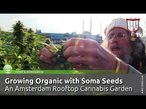 Growing Organic Weed on Amsterdam Rooftop; Cannabis Garden w/ Soma Seeds - SmokersGuideTV Amsterdam