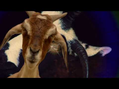 Screaming Goat Choir (Catherdral mix)