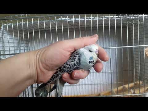 Птенцы выставочного волнистого попугая переезжают в свою первую клетку