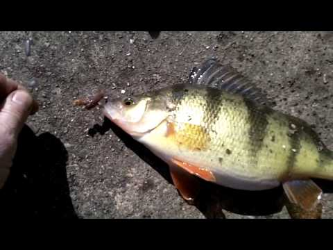 Spring Perch Fishing Mississippi River -  NFN Shore / Pier Fishing