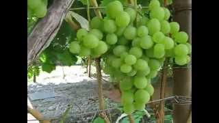 видео Виноград плодовый Агат донской