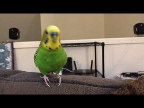 Kiwi The Parakeet Talking For Almost 2 Minutes