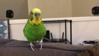 parrots singing