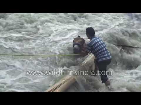 True hero: Man rescues Mule from flood-swollen