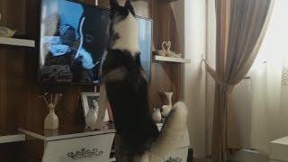 LADY'NİN TV'YE VERDİĞİ TEPKİ  ❤️   (HUSKY ) ❤️