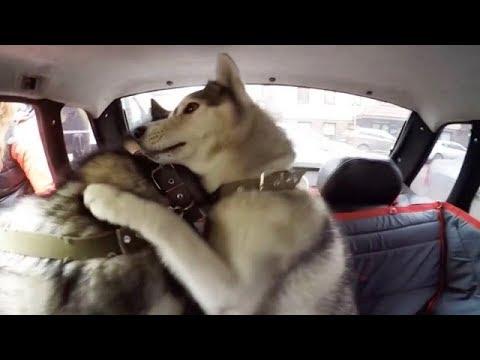 Автогамак для собак Тренд Доггин Дабл – отзыв, обзор и тест в одном видео