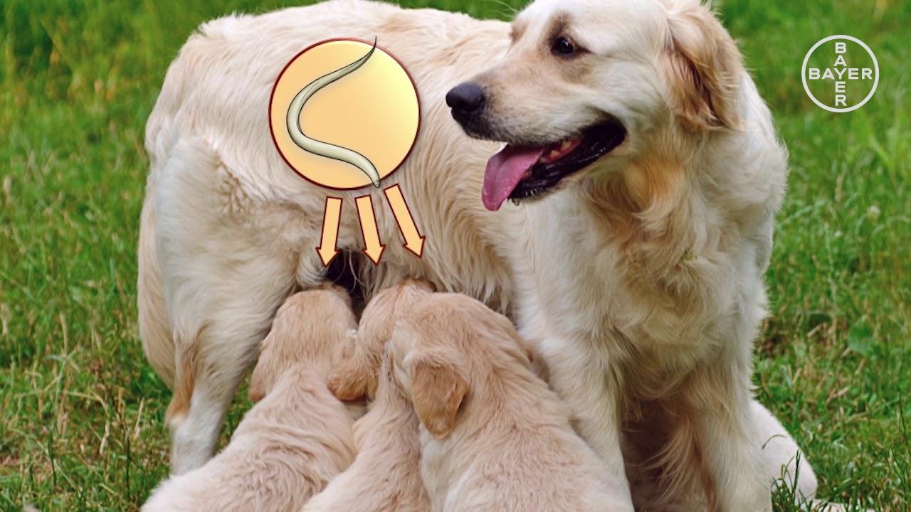 Orsóférgesség | Kutyatár | Kézikönyvtár, A parazita toxocara canis kezelése