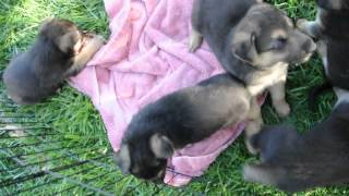 Rescue Pups - Adopted! German Shepherd - Husky Mix?  Available In 3 Weeks.