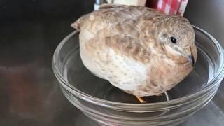 【姫うずら】密着!姫うずらーず Closely covered King quail