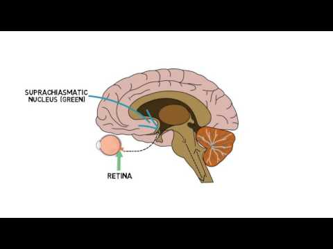 2-Minute Neuroscience: Pineal Gland