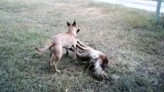 Собаки дерутся