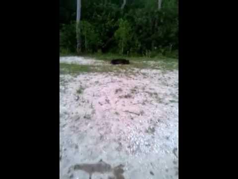 .270 boar hog