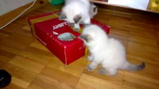Невские маскарадные котята 1.5 месяца