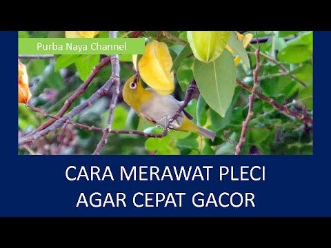 Download CARA MERAWAT PLECI AGAR CEPAT GACOR  * Video Belajar Cara Bikin, Cara Membuat *