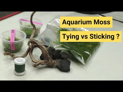 Tying vs Sticking your Moss on Stone - 2019 [Aquarium Moss]