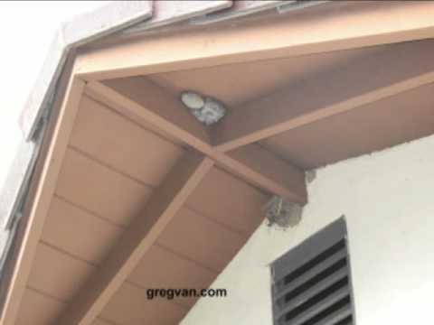 Great Wasp And Swallow Nest Under Roof Overhang   Pest Control