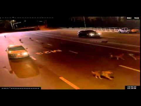 videos-de-caidas-chistosas-manada-de-lobos-por-la-autopista-graciosas-chistosas-risa