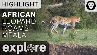 African Leopard Roams the Lands of Mpala For Food - Live Camera Highlight
