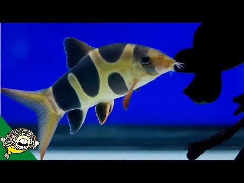Clown Loach Care Guide - Aquarium Co-Op