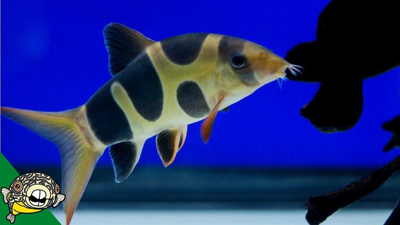 clown-loach-care-guide-aquarium-co-op