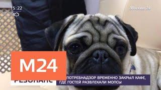 Смотреть видео Роспотребнадзор временно закрыл кафе, где гостей развлекали мопсы - Москва 24 онлайн