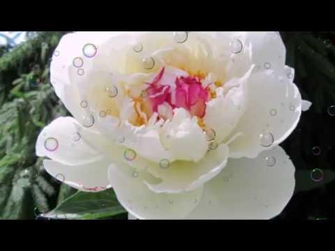 пионы фото цветов в саду с названиями