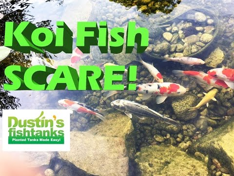 Water Garden Pond Spring time opening Tips, Koi fish Pond Scare with a Predator