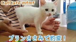 横浜関内【猫カフェmfmf】にて 保護猫ちゃんのブランささみで豹変する! 多田あさみ 動画 25