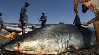 Catch Sharks and cut Shark fins