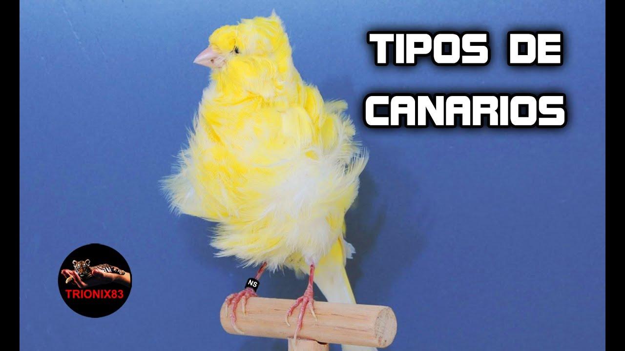 Tipos De Canarios Hibridos De Canarios Razas De Canarios Aves Hibridas Youtube