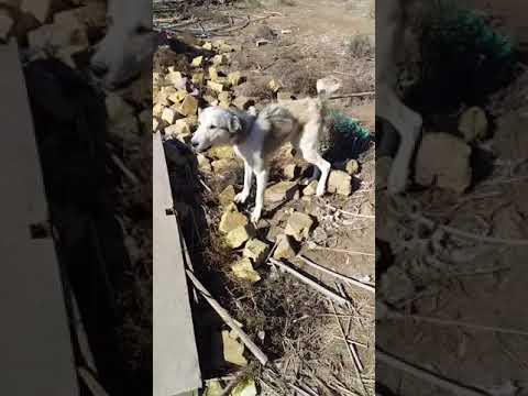 اقوى كلب عربي