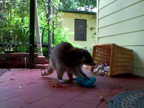 Momma Racoon Washing Her Food And Eating Youtube