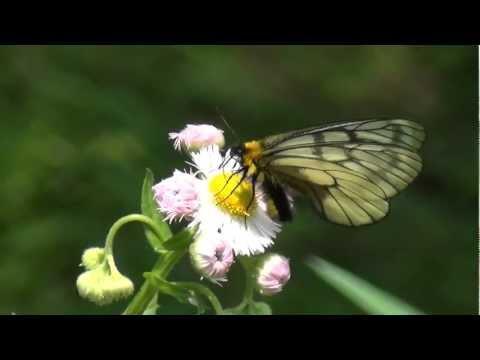 [HD] Parnassius citrinarius