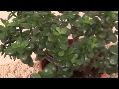 Crassula ovata minor - jade plant - крассула овата с миниатюрными листьями
