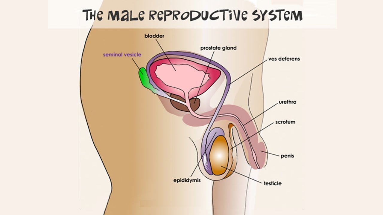 State Board 10th Class Biology Biology Male Reproductive