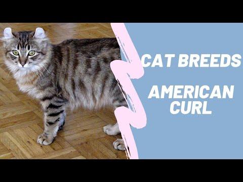 AMERICAN CURL - CAT BREEDS