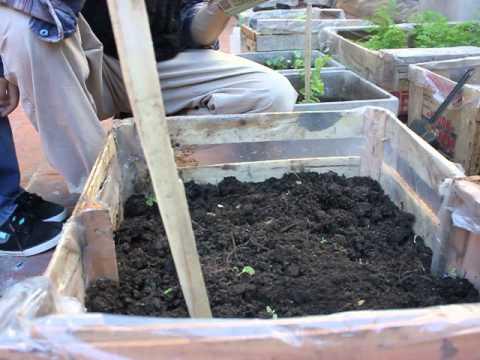 Cultivo de r banos org nicos en casa doovi for Criar mojarras en casa