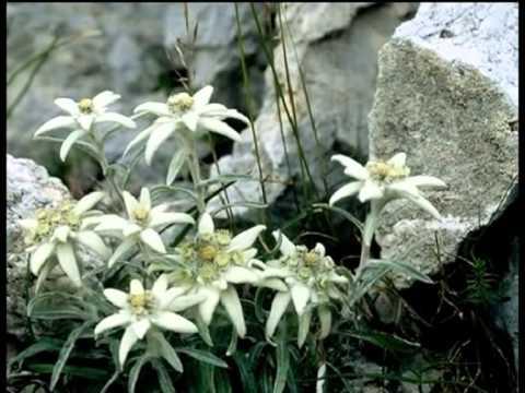 Stelutis Alpinis - (Sfumature Friulane)