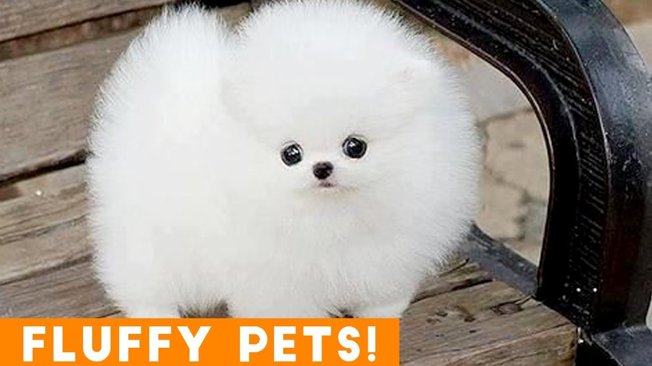 Cutest Fluffy Pets Ever 2018 Funny Pet Videos Youtube