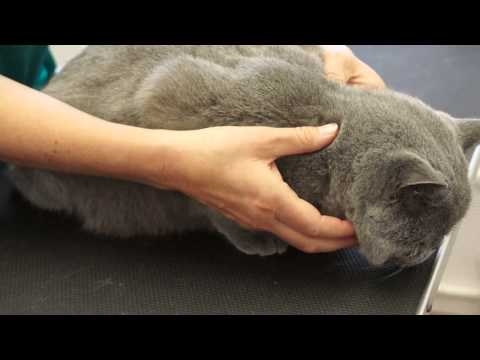 Cat Grooming School - student learning cat massage technique