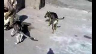 Crossed Gull Terr And German Shepherd  Puppies